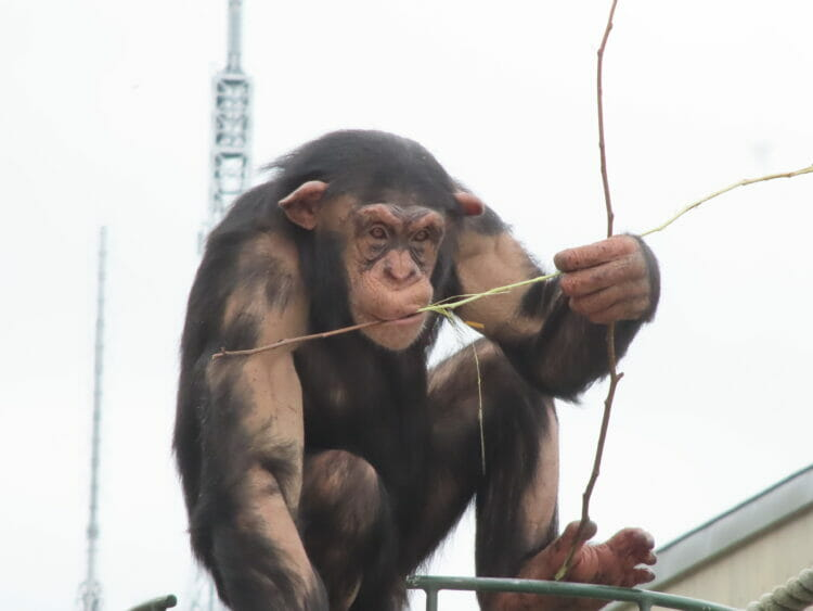 【#4】チンパンジー